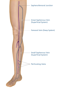 Veins-Perforating-Great Saphenous Veins-Small Saphenous Veins